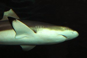 Black tip Shark - Perth Ocean